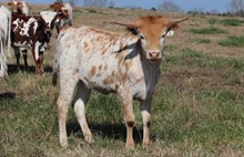 Heifer calf 2020 Fifty-Fifty x BG Dutchess of